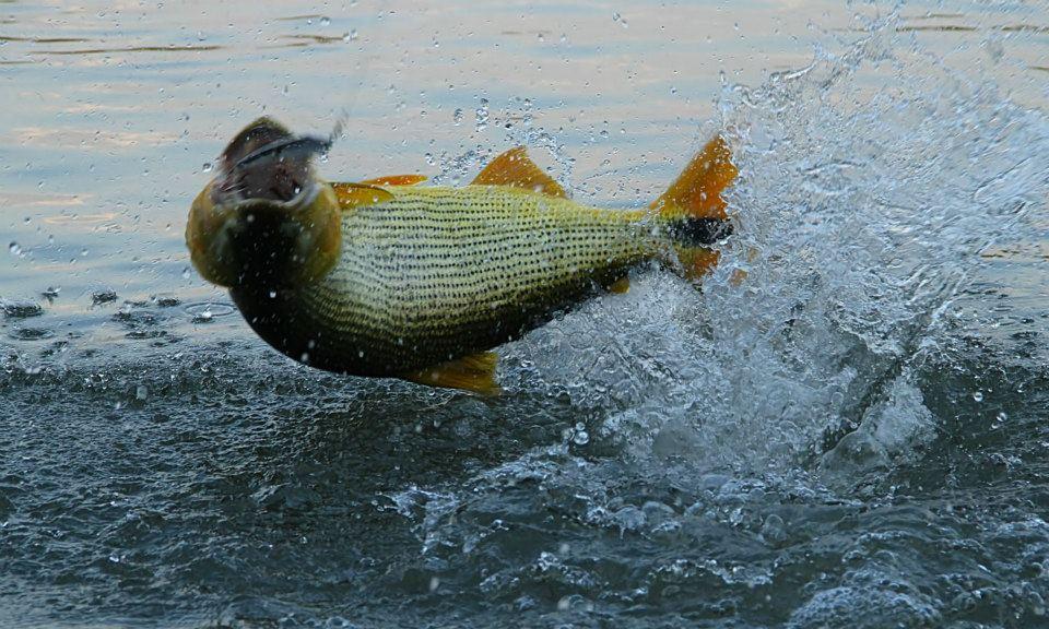 Pesca de Dourado