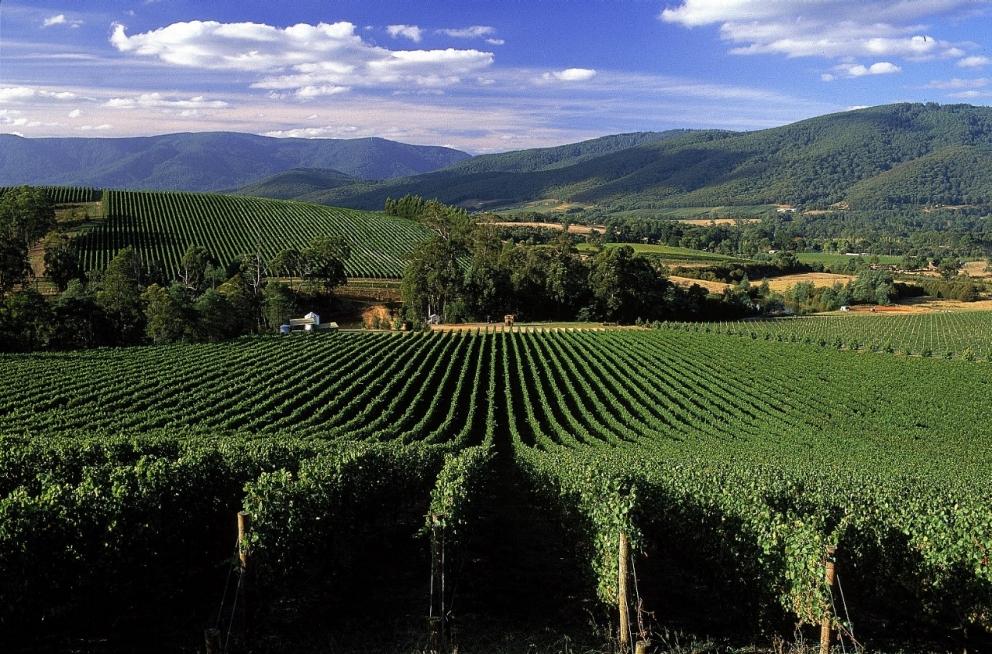 Yarra Valley Grape Grazing