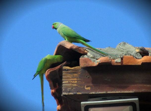 parakeets, Niue