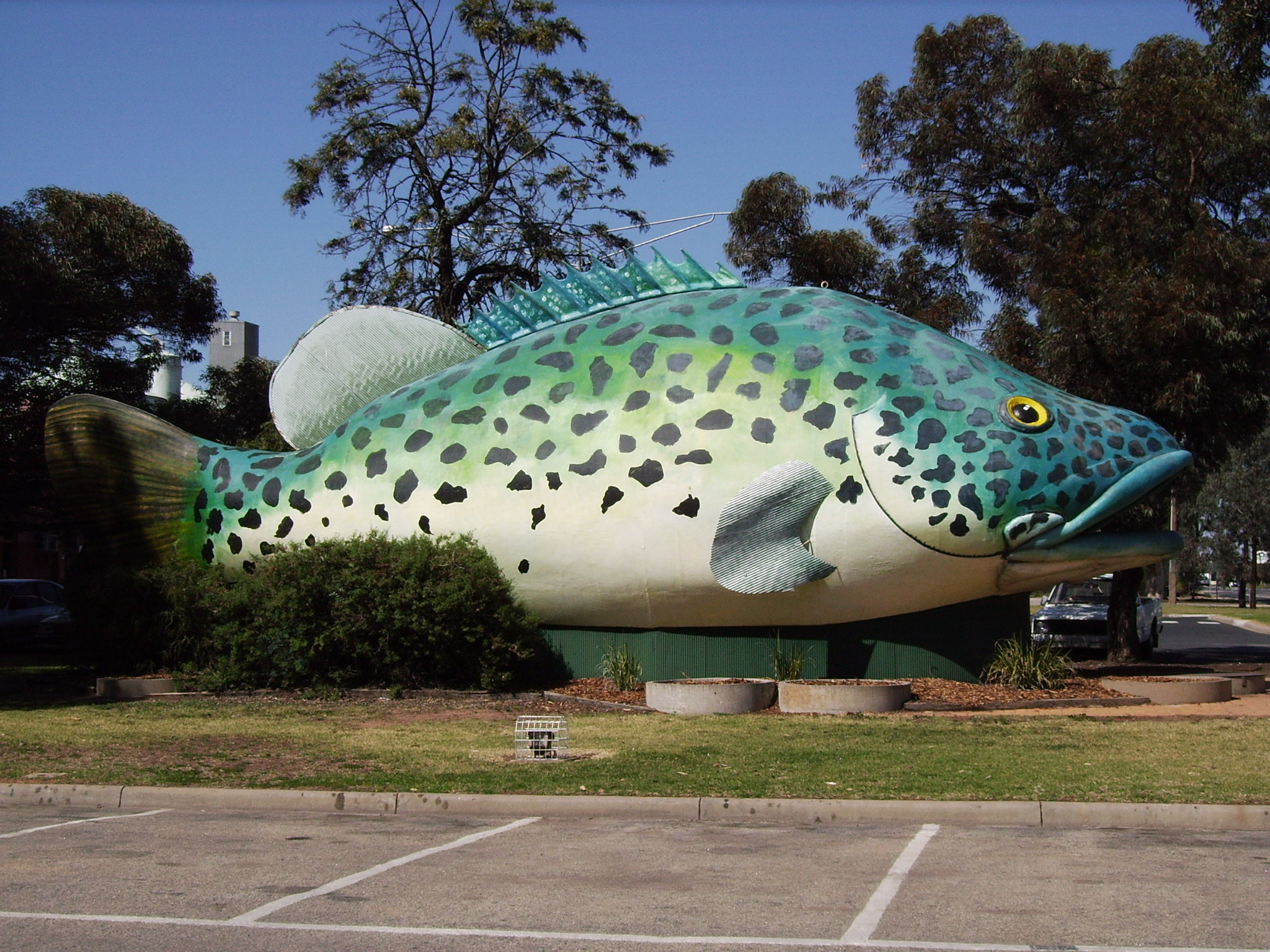 Big Murray Cod at Swan Hill Victoria Australia