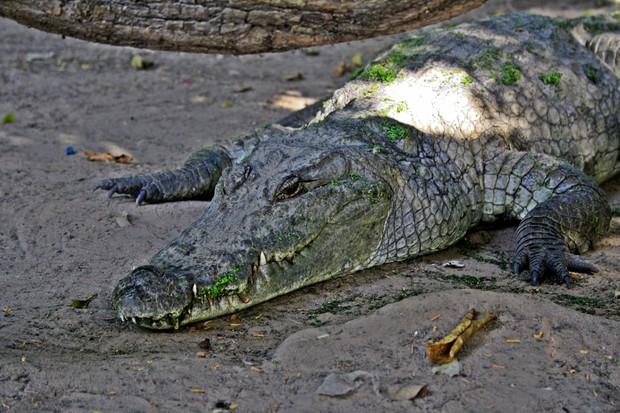 Katchikali Crocodile, Gambia