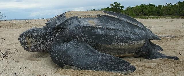 Leatherback Turtle Suriname