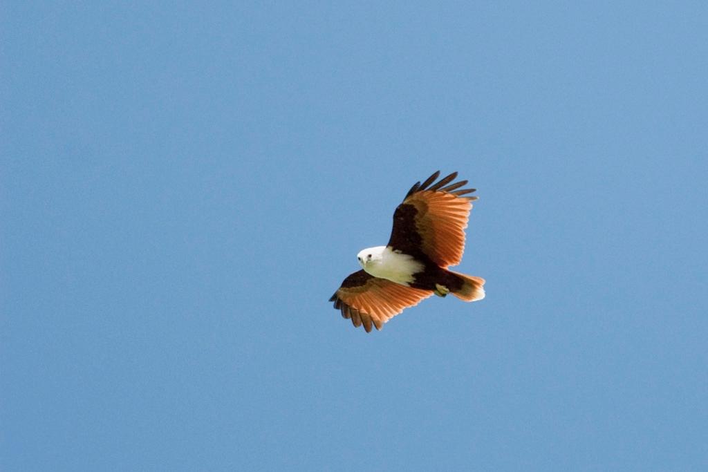 brahminy kites, Papua New Guinea